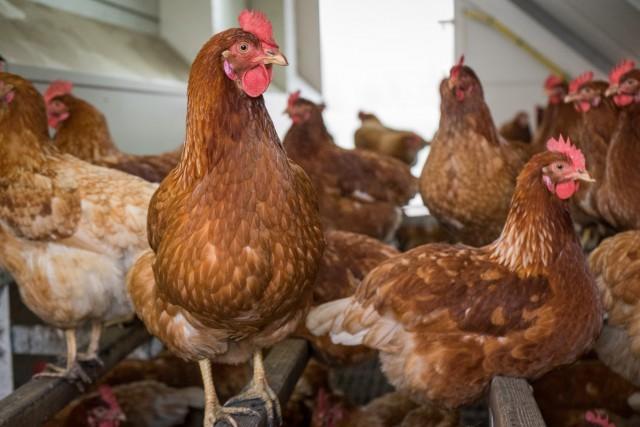 Hühner im mobilen Stall
