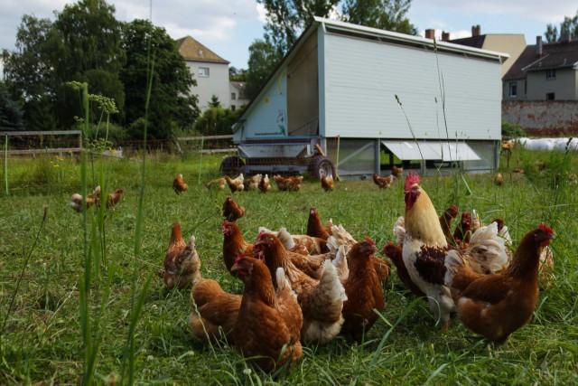 Hühnermobil mit geöffneten Auslaufklappen