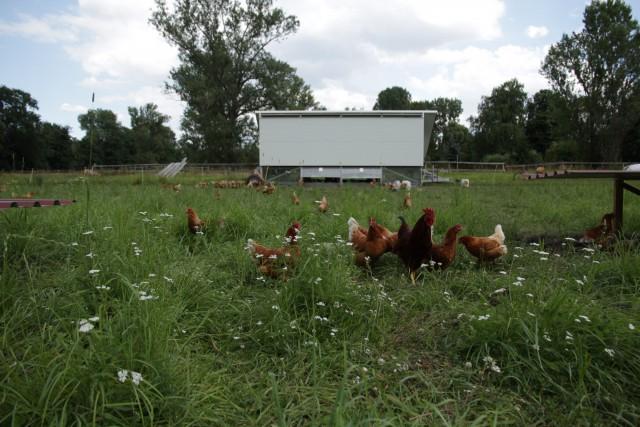 Hühnermobil nach dem Umsetzen mit frischer Grasnarbe