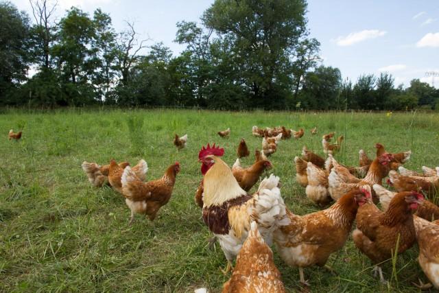 Hühner und Hahn im Auslaufbereich