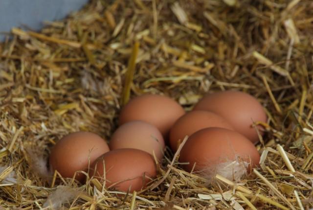 frische Eier im Nest